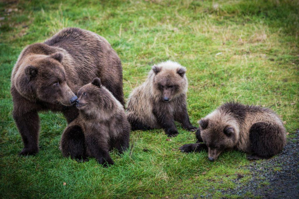 antal björnar i sverige 2016