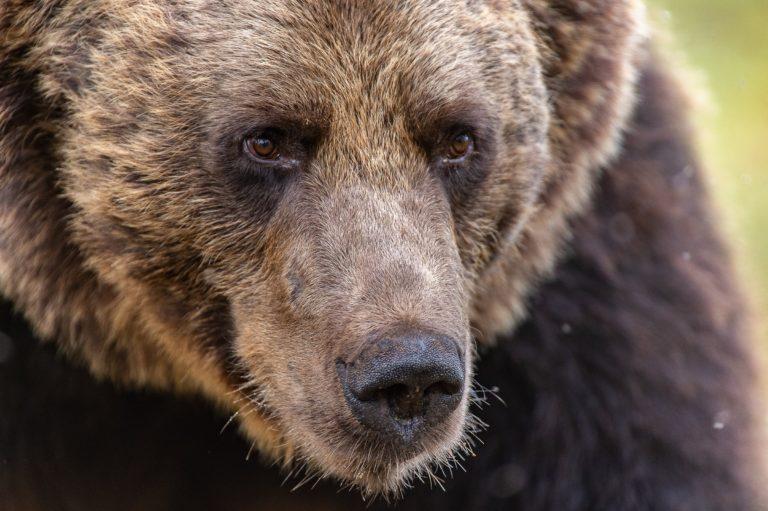 hårig björn kön