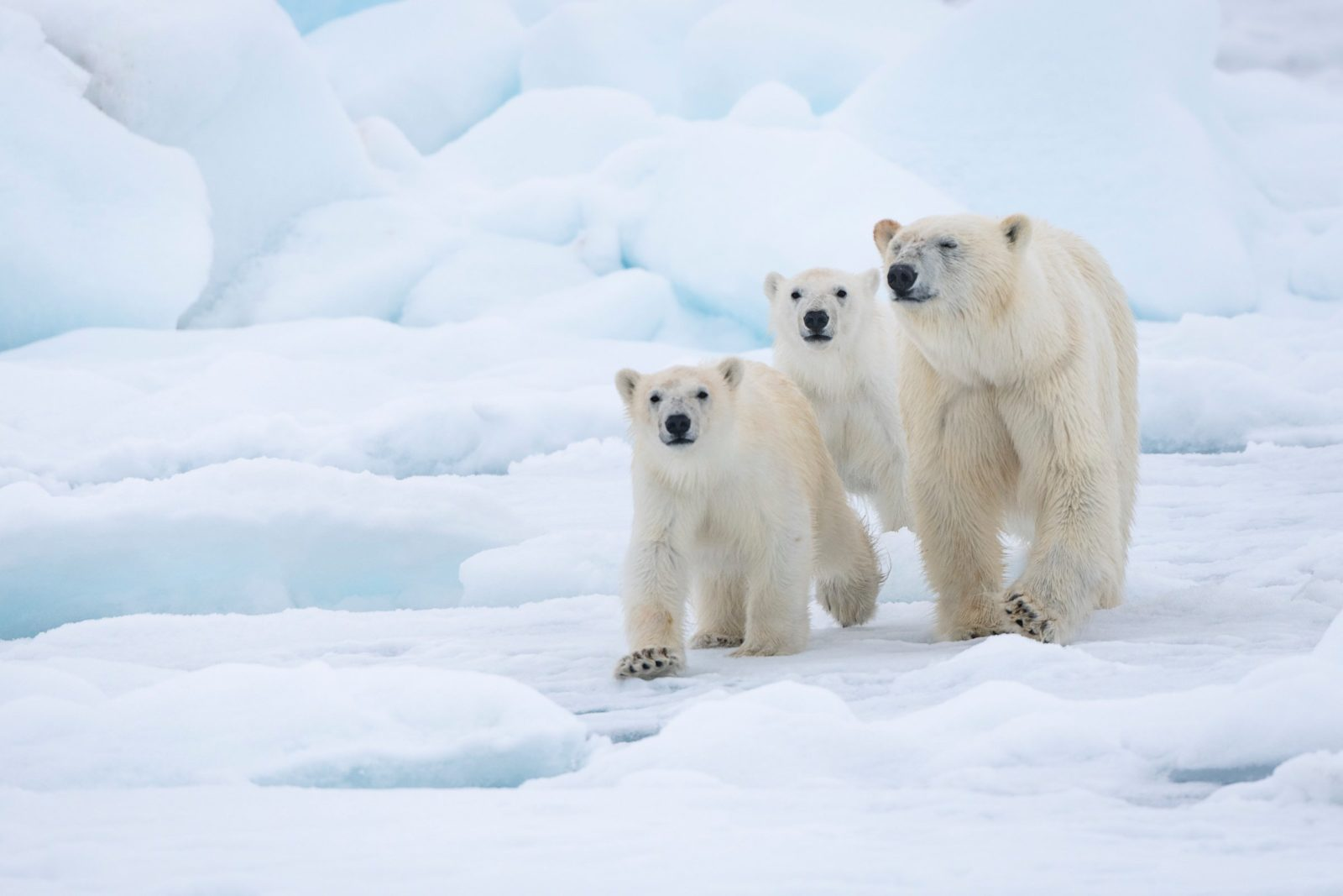 Isbjörn