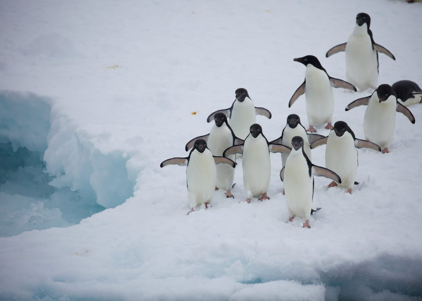 Adelie pingviner