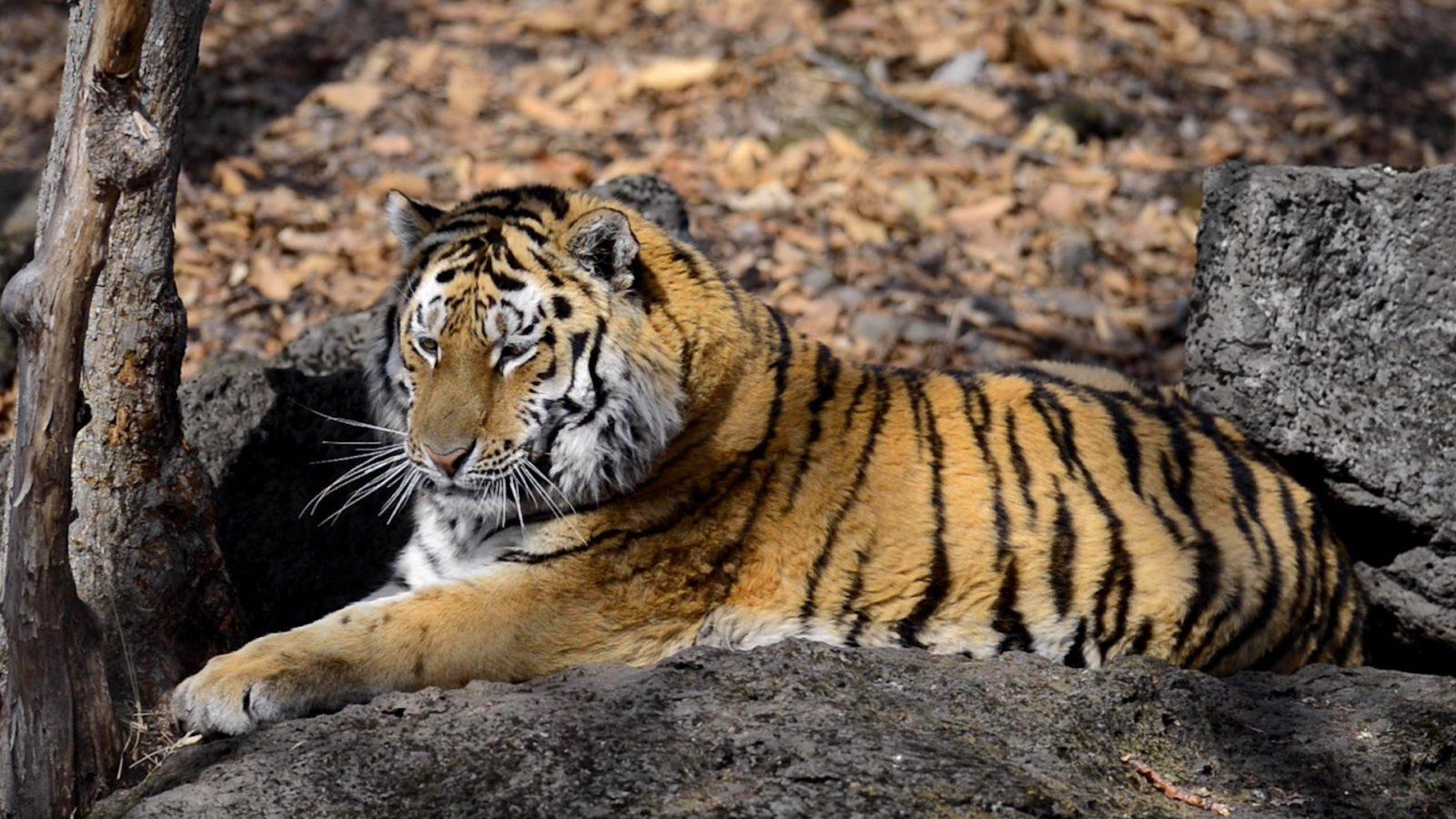 En tiger ligger på en sten och vilar i solen.