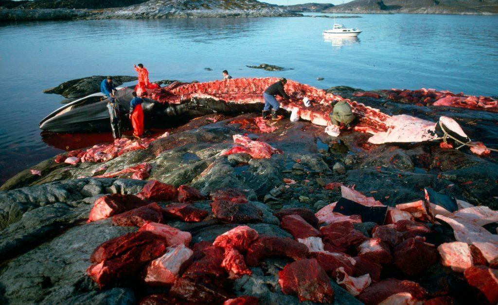 Valjakt på Grönland