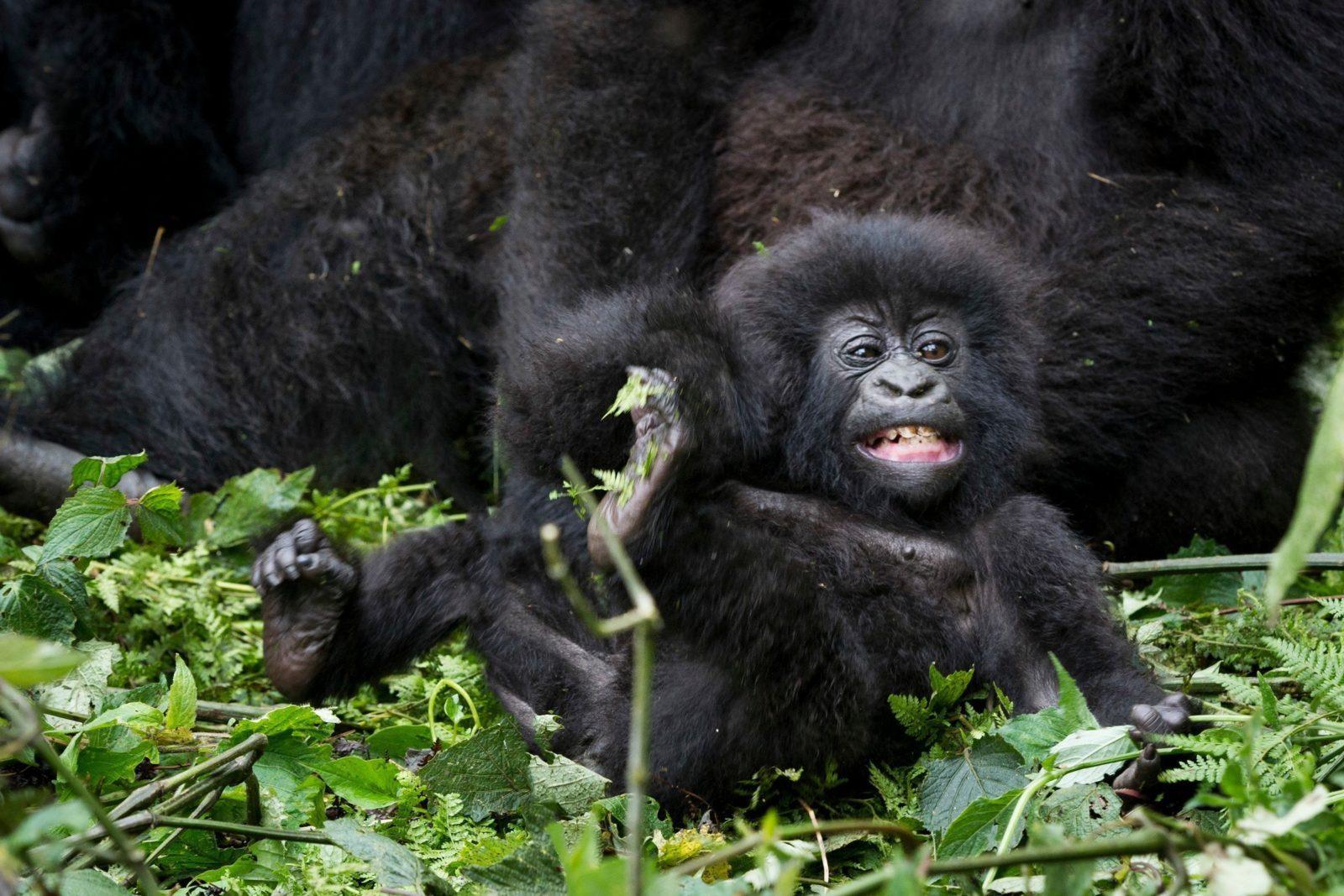 Ung bergsgorilla (Gorilla Beringei Veringei)