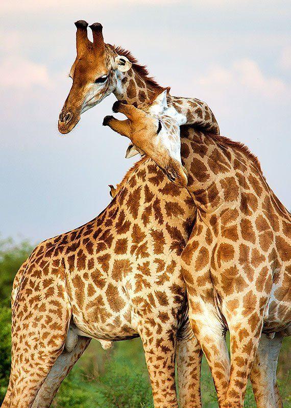 Två giraffhannar