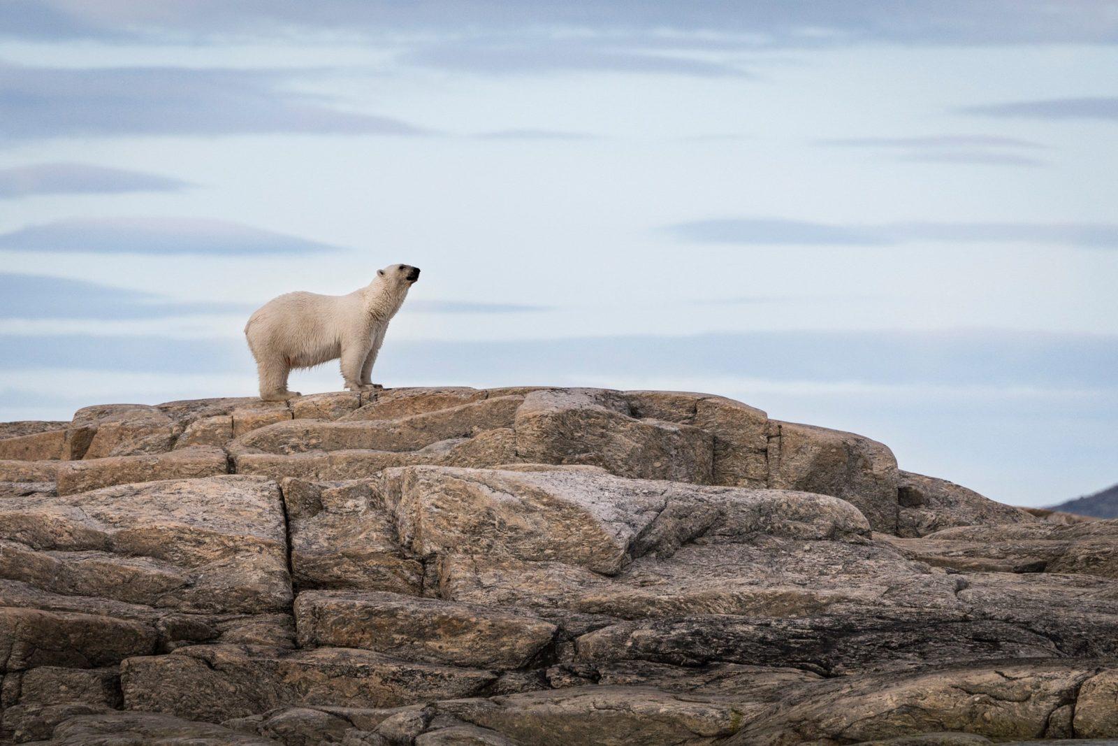 Isbjörn (Ursus maritimus)
