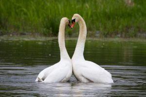 Kärleksdans hos knölsvan