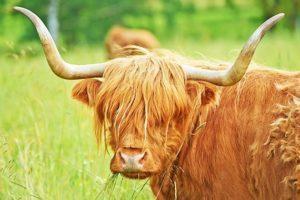 Naturbeteskött ko