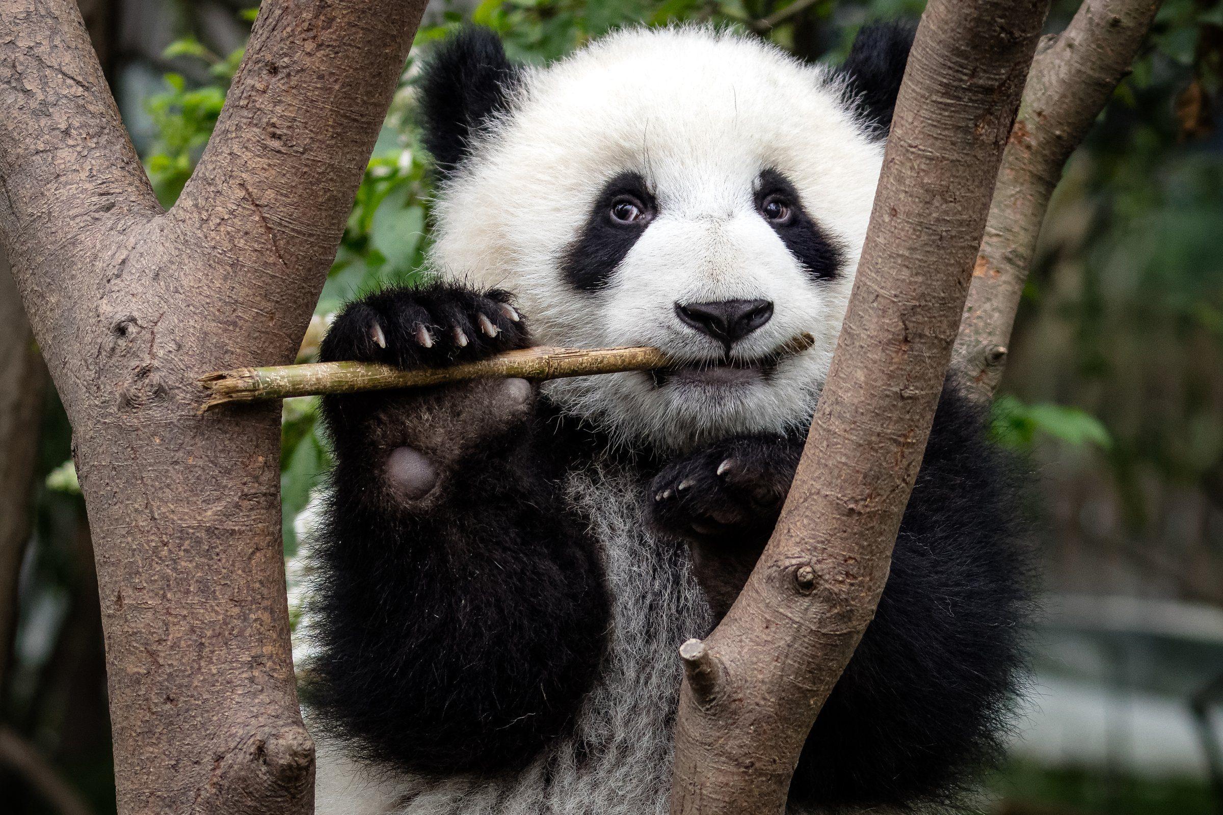 Panda (Ailuropoda melanoleuca)