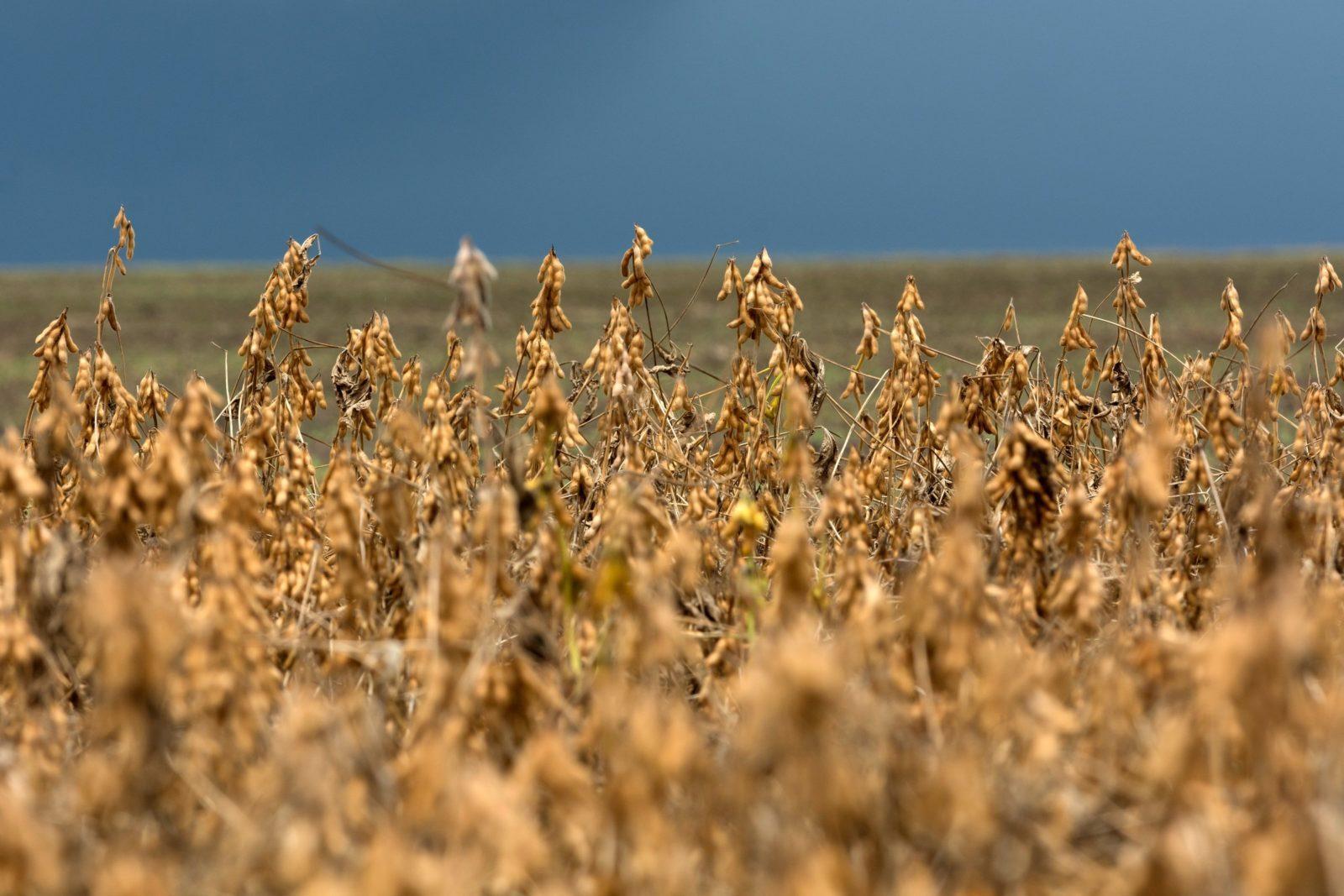 Sojabönor på ett fält, Kongo