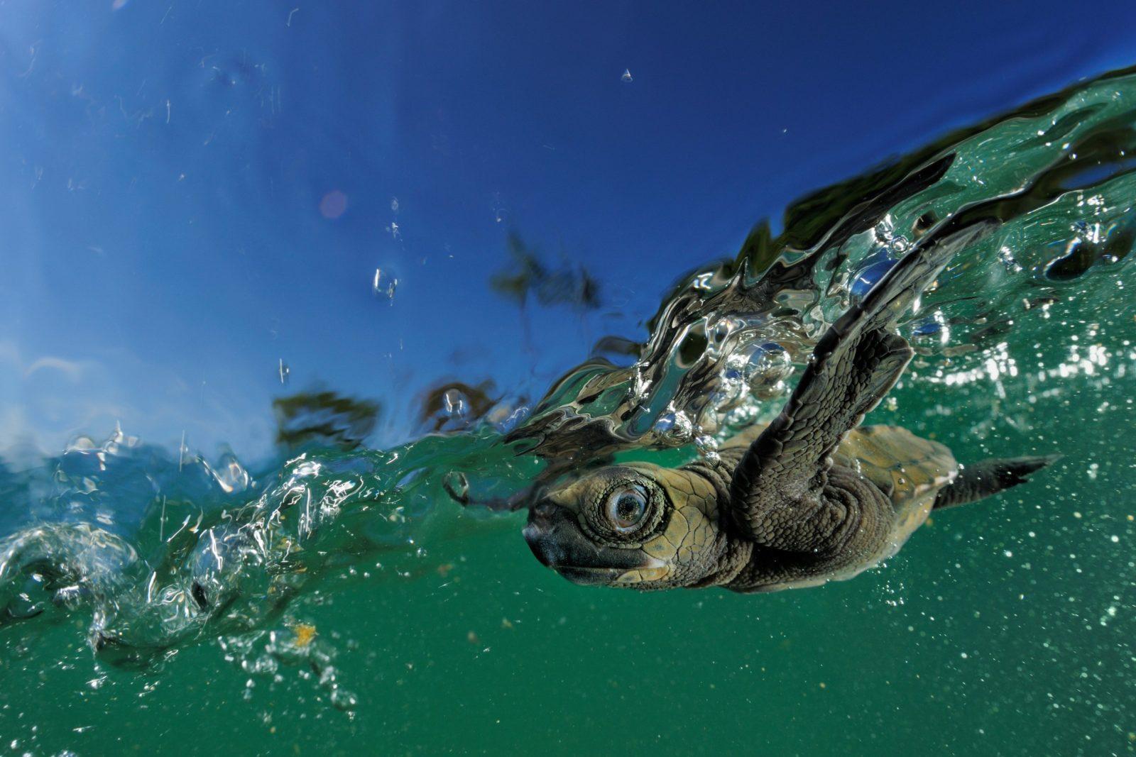 Sydlig bastardsköldpadda (Lepidochelys olivacea)