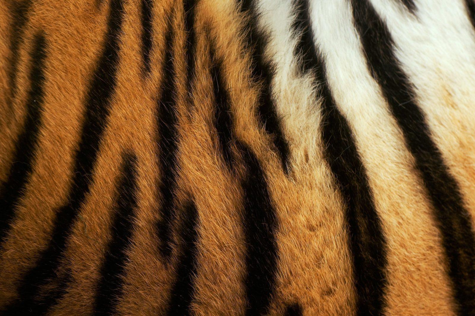 Mönster från päls på sibirisk tiger