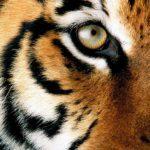 Närbild på tigeransikte
