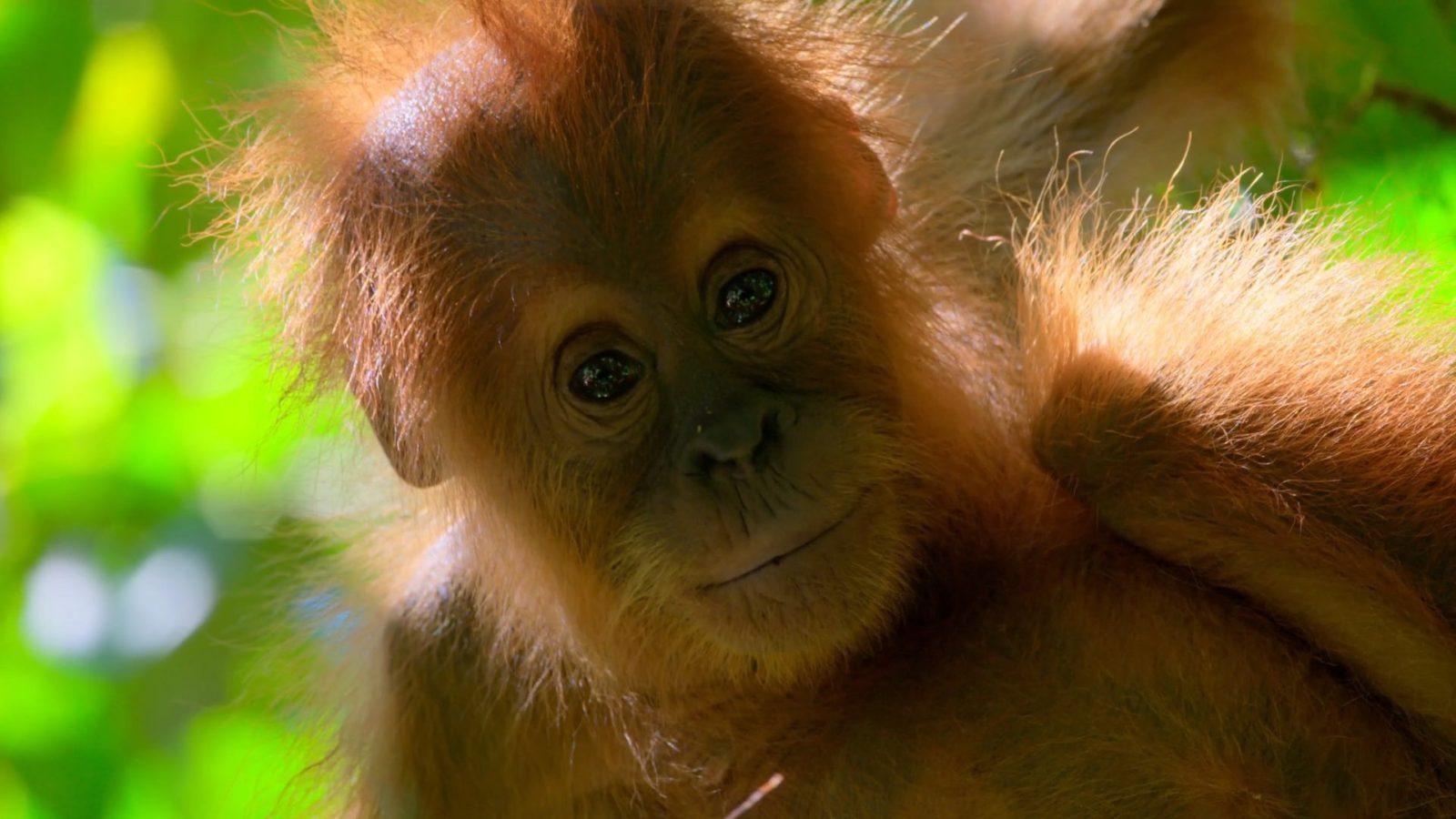 En orangutangunge tittar in i kameran från en trädgren i regnskogen.